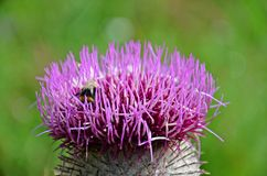 Violet thistle. A bee sucking nectar of purple thistle Royalty Free Stock Image