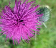 Free Violet Thistle Flower Royalty Free Stock Photography - 34710027