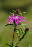 Violet thistle flower (Cirsium) Royalty Free Stock Photo