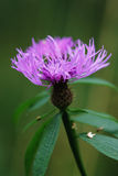 Violet thistle flower (Cirsium) Royalty Free Stock Photos