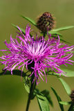 Violet thistle flower (Cirsium) Stock Images