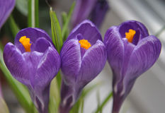 Violet three Crocus. Yellow middle Royalty Free Stock Images