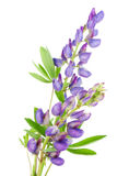 Violet tiny lupine Royalty Free Stock Photo