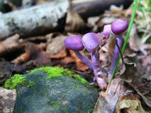 Violet toadstools next to a stone in moss on a background of dry brown royalty free stock photos