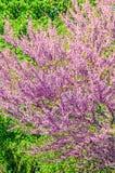Violet tree flowers of Cercis siliquastrum,  Judas tree outdoor Royalty Free Stock Image