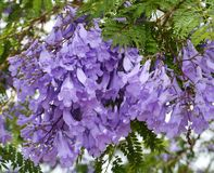 Violet trumpet flowers in a tree Royalty Free Stock Photo