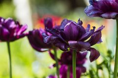 Violet Ttlips i solig dag Royaltyfria Bilder