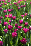 Violet tulip Stock Photos