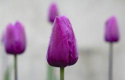 Violet Tulip Foto de archivo
