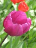 Violet Tulip arkivfoto