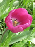 Violet Tulip fotografering för bildbyråer