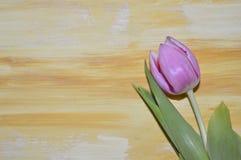Violet Tulip imagens de stock