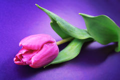 Violet tulip. Stock Images