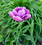 Violet Tulip Royalty Free Stock Image