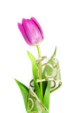 Violet tulip. With decorative ribbon, on white background Royalty Free Stock Image