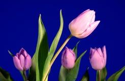 Violet tulip flower Stock Image