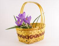 Violet tulip flower in basket Stock Images