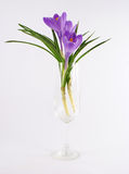 Violet tulip flower in vase Royalty Free Stock Images