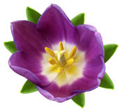 Violet tulip  flower. white isolated background with clipping path.   Closeup.  no shadows.  Stock Photos
