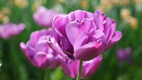 Violet tulip flowers, Blue Diamond hybrid in moderate spring wind, 4K. Violet tulip flowers, Blue Diamond hybrid, also called Double Late Tulip, bending in stock video