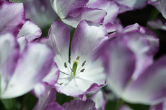 Violet tulip flowers Royalty Free Stock Photo