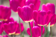 Violet tulip flowers spring background Royalty Free Stock Image