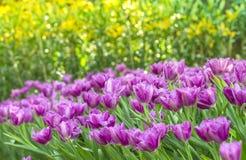 Violet tulip Stock Images