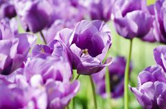 Violet Tulip Royalty Free Stock Photo