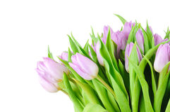 Violet tulips Royalty Free Stock Photography
