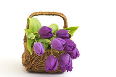 Violet tulips Royalty Free Stock Images