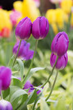 The violet tulips Stock Images