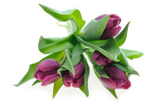 Violet tulips Royalty Free Stock Image