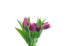 Violet tulips Stock Images