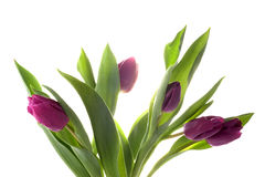 Violet tulips Stock Photo