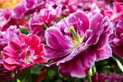 Violet tulips background.Macro shot. Stock Image