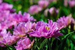 Violet tulips close up in Holland gardens , spring time flowers. Keukenhof royalty free stock image
