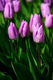 Violet tulips close up in Holland , spring time flowers in Keukenhof. Beauty royalty free stock photos