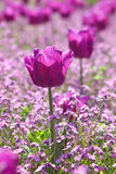 Violet tulips Royalty Free Stock Photo