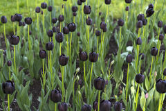 Violet tulips. In the field Royalty Free Stock Images