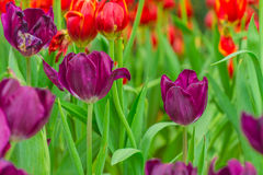 Violet tulips flower in nature background Royalty Free Stock Images