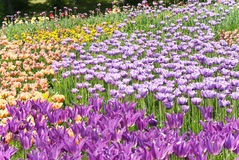 Violet tulips on flowerbed Royalty Free Stock Images
