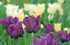 Violet tulips in garden Stock Photo