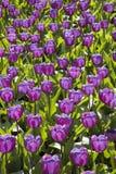 Violet Tulips Keukenhof, Nederländerna Royaltyfria Foton