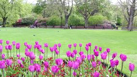 Violet tulips in the park on a Spring day, footage stock footage