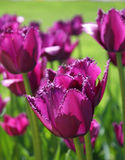 Violet tulips, vertical Royalty Free Stock Photography