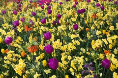 Violet tulips in yellow flowers field. royalty free stock photos