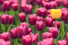 Violet tulips and yellow one Stock Photo