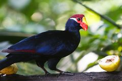 Violet Turaco. A violet turaco passes on a banana, preferring the apple for lunch stock image