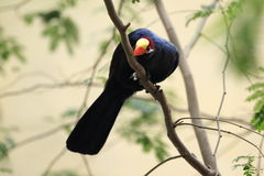 Violet turaco Stock Images