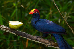 Violet turaco, also called violaceous plantain eater, or scientific name Musophaga violacea Royalty Free Stock Photography